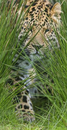 ~~Young leopard in the high grasses by Tambako The Jaguar~~