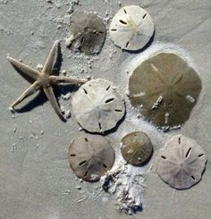 Sand dollars and starfish from the SC beaches where we went once or twice every summer when we were growing up.I can smell them from here. Seaside Beach, Ocean Beach, Beach Fun, Summer Beach, I Need Vitamin Sea, Shell Beach, I Love The Beach, Coral, Am Meer