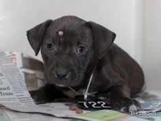 05/05/16--HOUSTON- -EXTREMELY HIGH KILL FACILITY - This DOG - ID#A457857 I am a female, black and white Labrador Retriever mix. The shelter staff think I am about 7 weeks old. I have been at the shelter since Apr 29, 2016. This information was refreshed 14 minutes ago and may not represent all of the animals at the Harris County Public Health and Environmental Services.