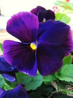Google Image Result for http://shrewshutters.files.wordpress.com/2008/10/pansy.jpg