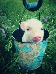 Just the cutest baby pig ever in a little bucket. - Imgur