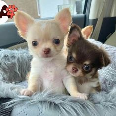 Cute Chihuahua, Chihuahua Puppies, Chihuahuas, Cute Animal Pictures, Mamma, Pomeranian, Teacup, I Love Dogs, French Bulldog