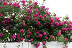 kordes+roses   With Clematis 'Perle d'Azur':