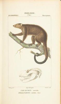 Atlas de zoologie : ou collection de 100 planches / By: Gervais, Paul, Publication info: Paris :Germer Bailliere,1844.