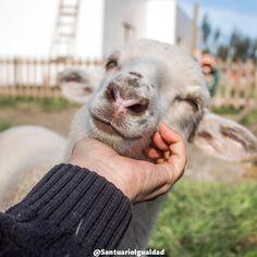 En el santuario siempre es hora de cuidar  entregar cariño  y de recordar lo maravillosos que son los demás animales cuando se sienten en paz y a salvo.   #santuarioanimal #animalsanctuary #sheep #lamb #animalfriends #animallovers  #animals #animalrights #animalliberation #veganofig #vegan #govegan #friends #love #cute #happyanimals #happiness #friendsnotfood #toocute #safe #pets #instachile #petsgram #happy  #pretty #beautiful #nature #naturaleza #inspiration #followme