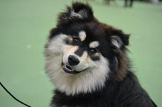 Salo has the most amazing temperament with people & is a registered PAT Dog visiting both the local nursing home for dementia patients & a local school where he listens to the children read :-) He. 7 Months, Squishies, Kids Reading, Beautiful Boys, Husky, Dogs, Animals, Cute Boys, Animales
