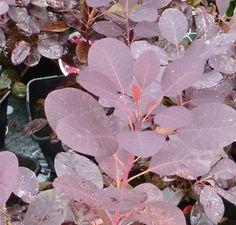 Cotinus coggygria 'Royal Purple' - Jacksons Nurseries