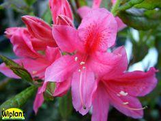 Rhododendron L. 'Rosy Lights', Northern Light atzalea. Vackra rosa blommor med  läcker doft. Förädling fr. Minnesota. Höjd: 1,2 m.