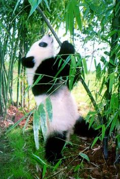 Panda, Giant Panda Giant Panda