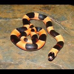 Apricot Pueblan Milk Snake - Halloween Phase (Lampropeltis triangulum campbelli) - Buy Apricot Pueblan Milk Snakes For Sale