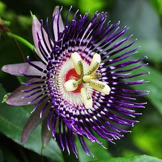 """Passiflora (a/k/a Passion Flower or Passion Vine).   [""""maracuja-passion-flower-736.jpg (736×736).""""]"""