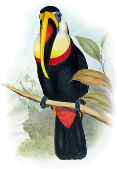 Toucan John Gould - /animals/birds/T/toucan/Toucan__John_Gould. Vintage Bird Illustration, John Gould, Rainforest Animals, Science Illustration, Nature Artists, Animal Coloring Pages, Vintage Birds, Wildlife Art, Bird Prints