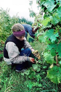 woman farmer harversting grapes, Domaine de Bellivière, Lhomme, Pays de la Loire, France