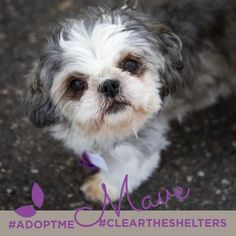 In support of #CLEARTHESHELTERSDAY we're sharing adoptable animals for the rest of the month!  This particular cutie is named Mave she's a 4 year old Shih Tzu currently with our friends at @UnderdogRescueMN
