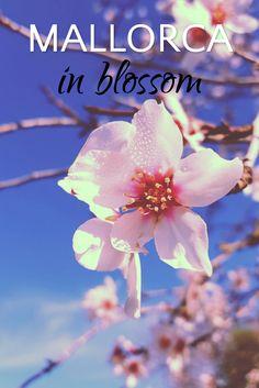 Mallorca almond tree in blossom.