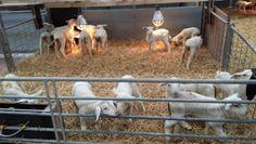Lammetjes bij boer Jan op Texel