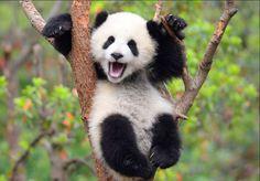 Diese Panda-Doku ist der entzückendste Tierfilm des Jahres