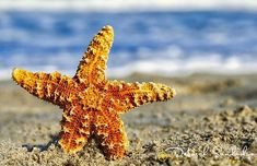 Good morning rise and shine have a beautiful day! Starfish photographed at Melbourne Beach before it got away...  50mm lens with my Nikon D850.  #starfish #beach #travelphotography #50mm #nikonlove