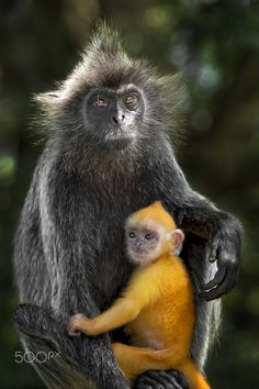 Silvery Leaf Monkey and Baby by Chong Keat Kim - Photo 116301501 - 500px