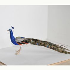 Peacock 1:12 scale