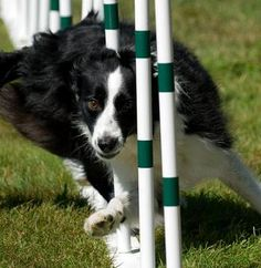 Border Collie in agility action Cute Baby Puppies, Baby Dogs, Pet Dogs, Dog Cat, Doggies, Sheep Dogs, Border Collie Puppies, Collie Dog, Border Collies