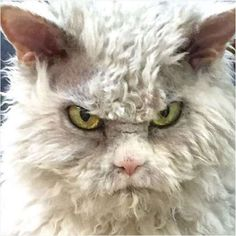 Meet Pompous Albert, a Selkirk Rex with a signature scowl that the Internet just can't get enough of... - Anna Burke