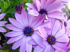 Purple Flower Names, Purple Flower Centerpieces, Types Of Purple Flowers, Purple Carnations, Purple Bouquets, Purple Daisy, Purple Art, Daisy Flowers, Daisies