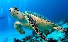 Great Barrier Reef Turtle, Queensland, Australia