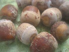 Quercus Rubra Red Oak Bonsai Tree Acorns - 5 acorns