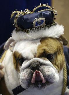 Huckleberry: Winner of 34th 'Beautiful Bulldog' Contest at Drake University, Des Moines, IA! via mailonline #Bulldog #Drake_University #Iowa