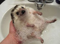 "It is a hedgehog having a bubble bath. (I should really rename this board ""tiny hedgehogs are amazing"".)"