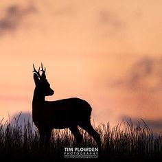 Sunday splendor  Subject: Roe deer at sunset Location: Norfolk England  #timplowdenphotography #deer #roe #roedeer #dusk #sunset #sunsets #landscape #habitat #english #England #Norfolk #shadow #light #silhouette #sky #animal #wildlife #wildlifephotography #animals #mammal #canon