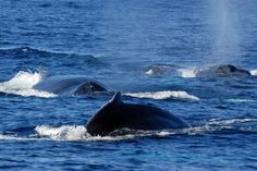Whales in Bermuda.. Come see them with us! For more information visit our site www.islandtourcentre.com!