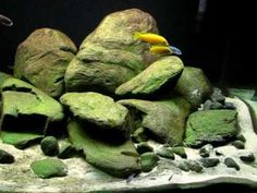 Malawi Biotope Tank 700 liters (extra rocks) - YouTube  (This is one of the best I have seen. Superb.)