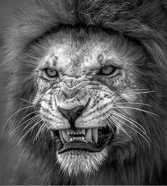 Lion Teeth Hd Wallpapers Angry Lion High Quality Printing Lion