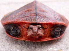 Aubry's Flapshell Turtle(Cycloderma aubryi) Photo credit: turtlesurvival