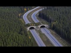 """[VIDEO] A Wild Way to Move: """"As you travel through Banff National Park animals are travelling too -- over your roof and under your wheels. Wildlife crossing structures and highway fencing in Banff National Park have reduced large animal deaths by more than 80%. So which animals adopted crossing structures first? Who prefers overpasses versus underpasses?"""