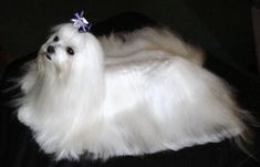 Maltese Puppies | Maltese Breeder #maltese Puppies | Maltese Breeders