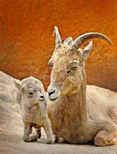 lalulutres:  Bighorn Sheep and baby