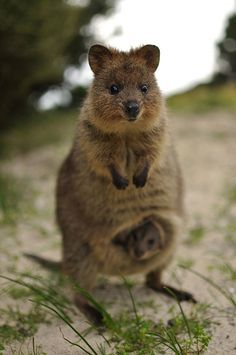 Quokka and baby. I've never seen one before.