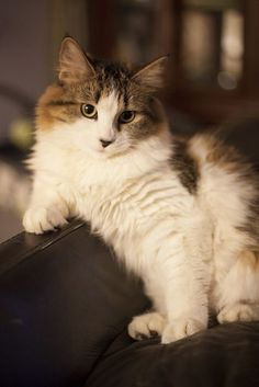 pretty tabby and white