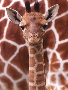 3 week old giraffe calf
