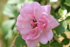 Lovely blossom of a hardy shrub rose