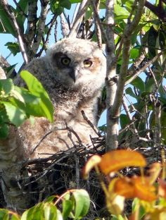 Great Horned Owl Hatchling, The Everglades National Park (Homestead, Florida)