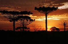 PARANÁ Parque Estadual Bosque das Araucárias - Pesquisa Google