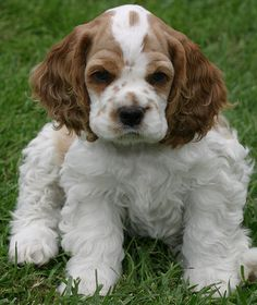 Zim Family Cocker Spaniel Puppies