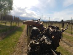 First signs of spring on our vines in the form of wooly buds. It is amazing how much growth will happen from here until vintage 2017. #nzv17