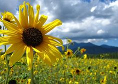 Flagstaff, AZ. I lived here almost 4 years and absolutely loved the sunflower summers!