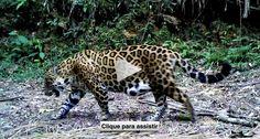 Vídeo de onça com filhotes lança esperança sobre a conservação da espécie na Mata Atlântica