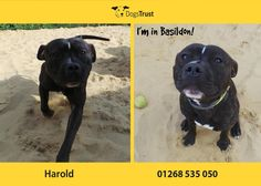 Harold here is typical happy bouncy Staffy from Dogs Trust Basildon looking for a home where he can get all the attention. He loves most things but is not a fan of other dogs. Dogs Trust, Labrador Retriever, Pitbulls, Adoption, Cute Animals, Fan, Happy, Diy Dog, Labrador Retrievers